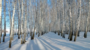 birch-trees-snow-winter-nature